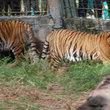 Thumb_tigres.jpg