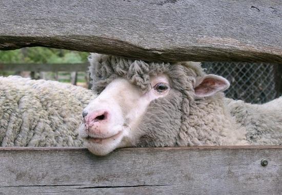 NACIONALES   Se salva la oveja, pero no el comisario