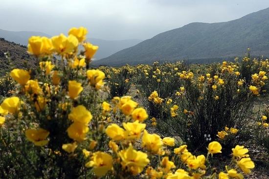 Lluvia convierte desierto de Atacama en un jardín lleno de flores — Galería