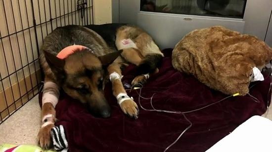 Perro recibió 3 disparos mientras defendía a su amo durante un robo